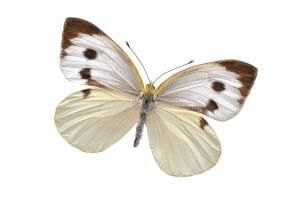 Vlinder Groot Koolwitje