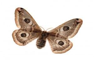 Nachtpauwoog vlinder